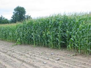 Tim's Corn