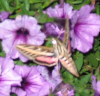 Striped Morning Sphinx Moth