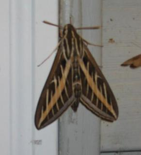 Striped Morning Sphinx Moth