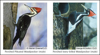 Ivory-billed woodpeckers from CLO