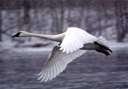 Trumpeter Swan from MN DNR