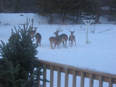 Deer in the backyard Jan 2005