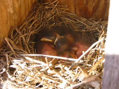Nestbox bluebirds 4/26/2006