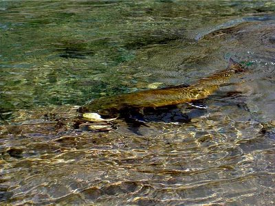 Big bull trout story