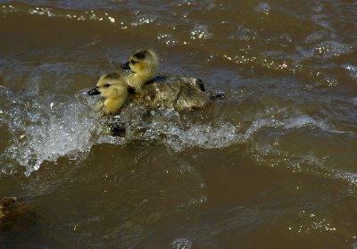 Surfer ducklings