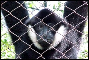 Gibbon at Dusit Zoo Bangkok Thailand