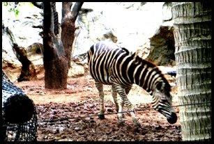Zebra at Dusit Zoo Bangkok Thailand