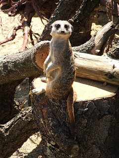 Meerkat at Paignton Zoo