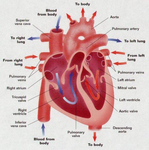 Did You Know What Causes The Sound Of Your Heart Beat