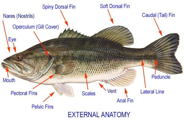 False Rummy Nose Tetra further Rare Cichlids additionally Watch additionally Corydoras Paleatus Ml additionally Watch. on oscar fish male