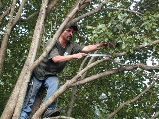 The workers climbed into the trees and cut away all the little stuff using sharp saws.