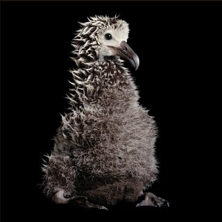Laysan Albatross Chick from Hawaii - National Geographic