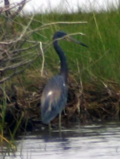 tricolored heron, Assateague NP, MD
