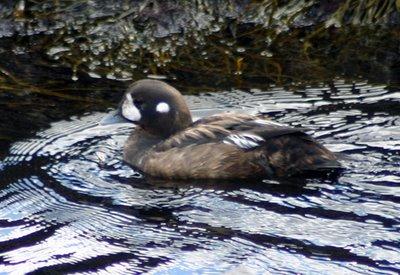 Immature Harlequin Duck