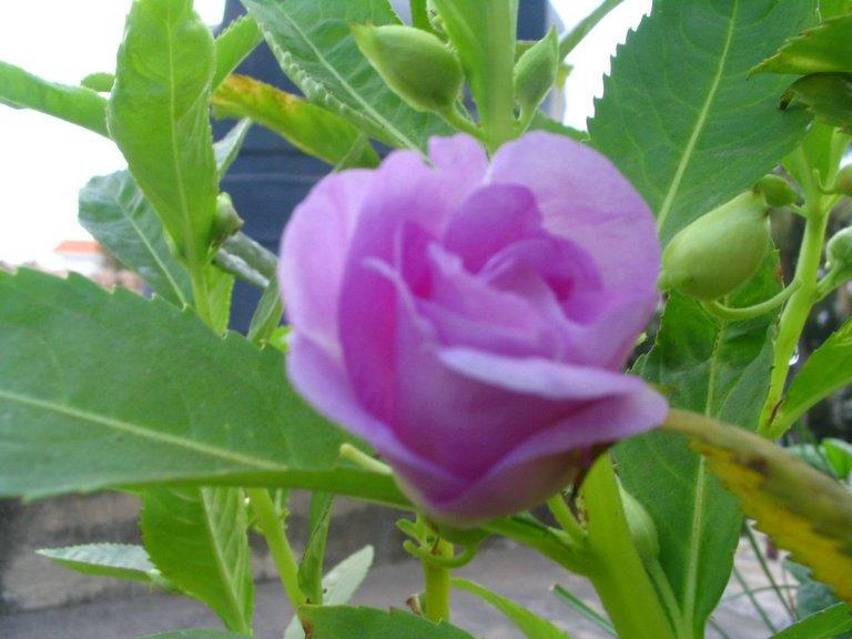 Chennai Garden Flowers: Balsom Flower - Multi Petal - Purple
