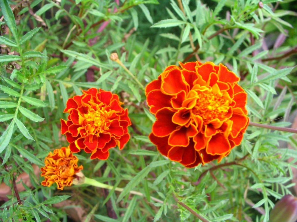 Chennai Garden Flowers Marigold Flower