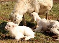 Ewe taking care of lambs