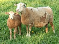 Red ewe and lamb