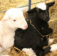 C-section lambs
