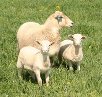 Ewe with lambs on pasture