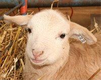 Tan lamb