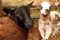 Black ewe with spotted lamb