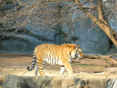 Tiger at the Detroit Zoo