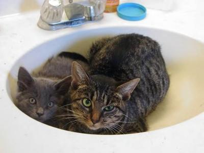 A fuzzy gray kitten and a tiger cat catloafing together in a bathroom sink