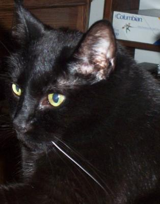 My black cat Lady Lightfoot in three-quarter view, showing one white whisker