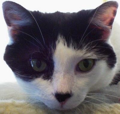 My black-and-white cat Alexander's harlequin face, with his little pink-and-black nose