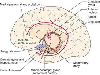 Μέση οβελιαία διατομή ανθρωπίνου εγκεφάλου