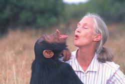 hersenen chimpansee gewicht
