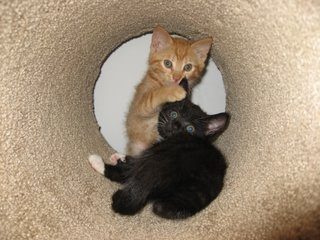 Jinx and Saffron in the cat tree