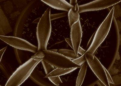 photo, fotografia, Agave americana variegata, copyright dominique houcmant, goldo graphisme