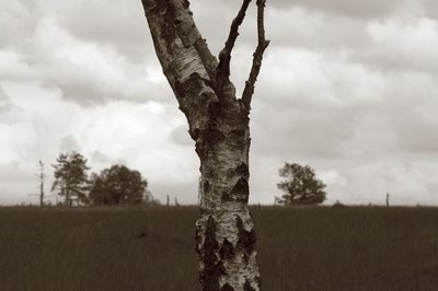 photo d'un tronc de bouleau dans la Fagne de Malchamps Bérinzenne, the trunk of the birch, el tronco del abedul, copyright dominique houcmant, goldo graphisme