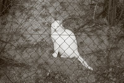 photo chat blanc, gato bianco, white cat, copyright dominique houcmant, goldo graphisme
