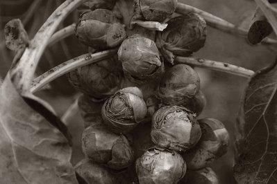 image fotografia photo de choux de bruxelles, Brassica oleracea var. gemmifera 'De Rosny', Sprouts, Brüsseler Sprossen ( Rosenkohl), Cavoletti di Brussels, photo dominique houcmant, goldo graphisme