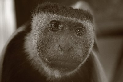 photo de la tête d'un singe le colobe guéréza, head of a monkey, cabeza de mono, copyright dominique houcmant, goldo graphisme
