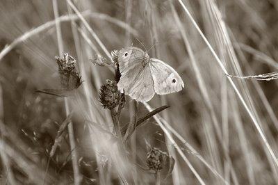 photo d'un papillon, le Coenonympha pamphilus (Le procris) dans la fagne de Malchamps-Bérinzenne, butterfly, mariposa, copyright dominique houcmant, goldo graphisme