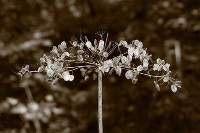 photo plante, daucus carota, carotte sauvage, Ombellifères ou Apiacées, copyright dominique houcmant, goldo graphisme