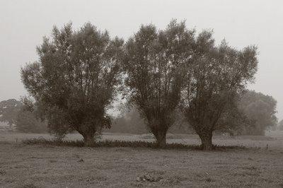photo saule blanc, salix alba, SALICE BIANCO, copyright dominique houcmant, goldo graphisme