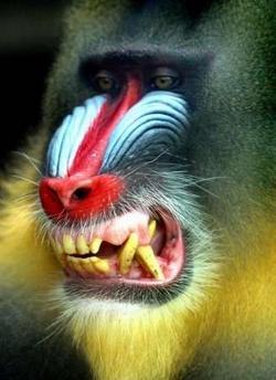 mandrillmonkey
