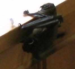 A bat on a ledge
