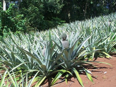 Moorea pineapple field
