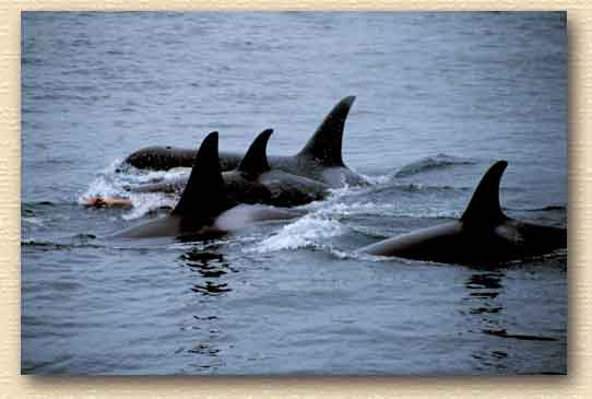 an introduction to the nature and mythology of killer whales Trickster mischievous figure appearing in various forms in the folktales and mythology of many different peoples mediator go-between.