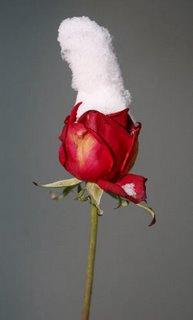 rosa con neve