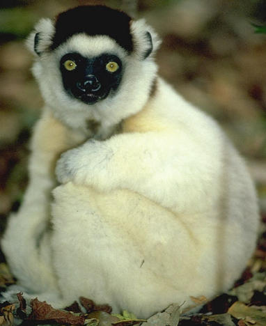 Q Son Los Lemures el lemur bonito de madagascar