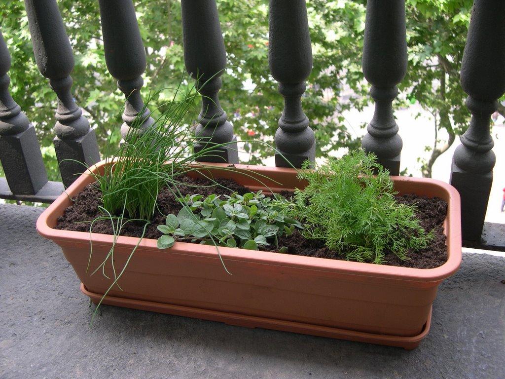 Verduras en mi balc n huerto urbano 2006 06 04 for Plantas aromaticas en macetas