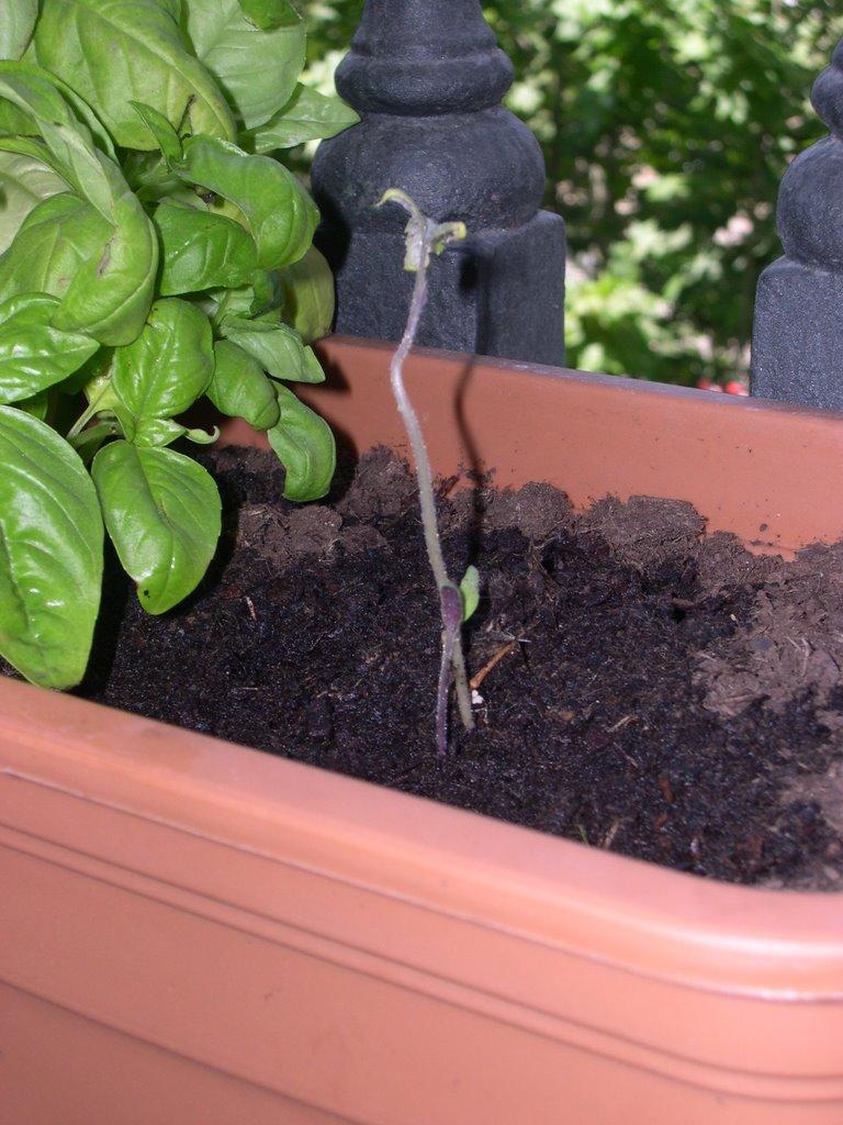 Verduras en mi balc n huerto urbano 13 tareas de - Huerto urbano balcon ...