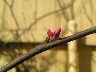 Cercis canadensis 'Redbud'